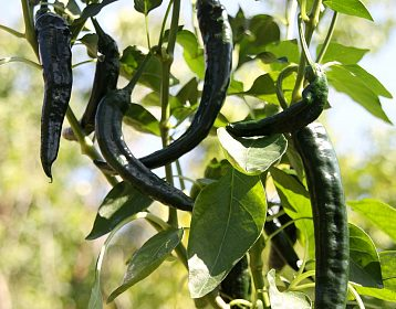 Chilli Cacho negro - sazenice