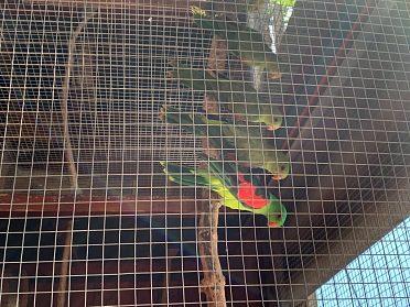 Prodám 2ks papouška Červenokřídlého
