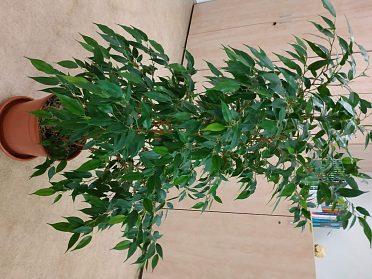 Prodej pokojové rostliny - Fíkus
