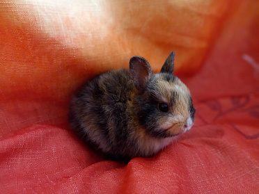 Zakrslý krátkouchý králíčci