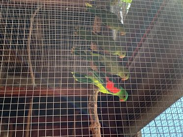 Prodám papouška Červenokřídlého