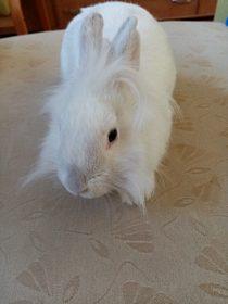 Zakrslý králíček samička