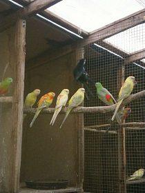 Papoušek zpěvavý + rosela pestrá / penant