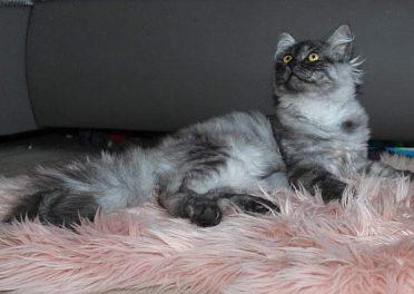 Sibiřská kočka s PP