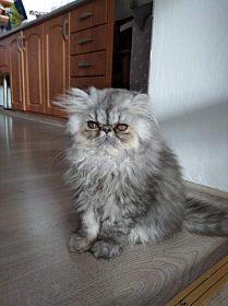 Prodám perská koťátka s PP