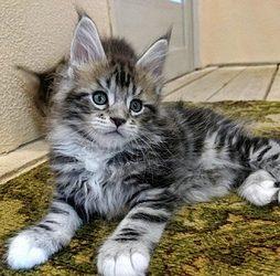 Maincoon kotě pro nový domov
