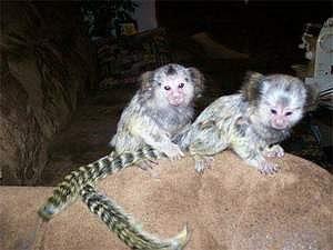 Roztomilá miminka trpasličí kosmanské kapucínské opice na prodej