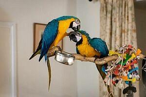 Lepený pár modrých a zlatých papoušků