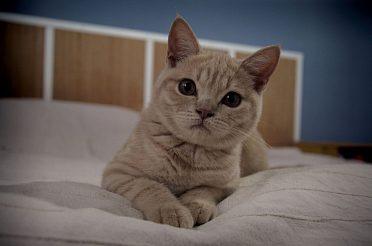 Poslední britská kočička s PP za skvělou cenu!!!