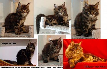 Krásná Mainská mývalí koťata s PP na prodej
