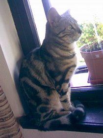 bengálský mramorovaný kocour na krytí.