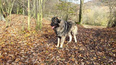 Štěně s PP, šarplaninský pastevecký pes