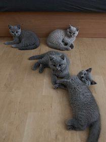 Britské kotě - kocourek krátkosrstý s PP