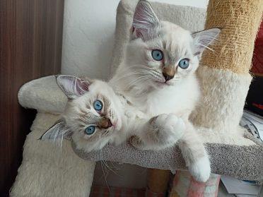 Ragdoll koťátka s PP k odběru