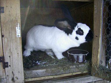 samice králíka na chov