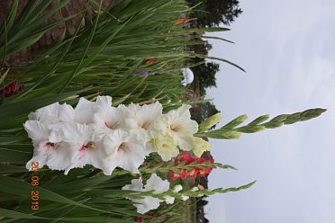Gladioly velkokvěté