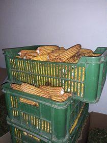 Krmná neloupaná kukuřice