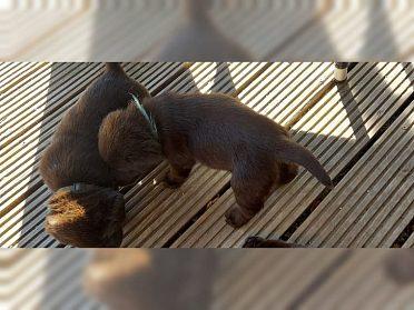 Čokoládově zbarvená štěňata labradorů