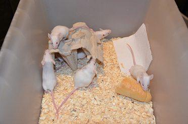 Bílé myši