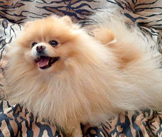 Pomeranian - krytí